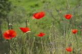 Fototapeta Kwiaty - fiori
