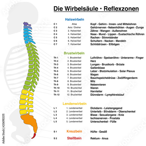 Fotografie, Obraz  Backbone reflexology chart with accurate description of the corresponding internal organs and body parts, and with names and numbers of the vertebras