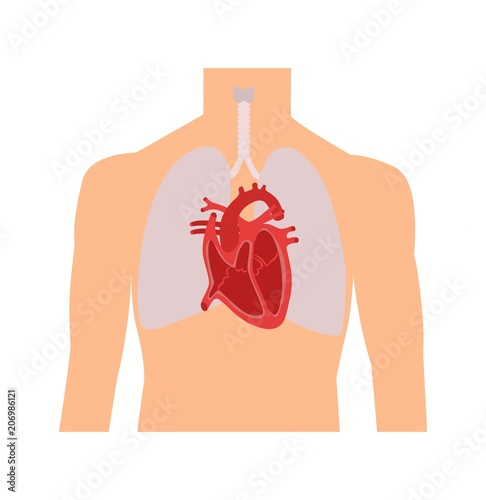 Heart And Lungs Internal Organs In A Male Human Body Anatomy Of