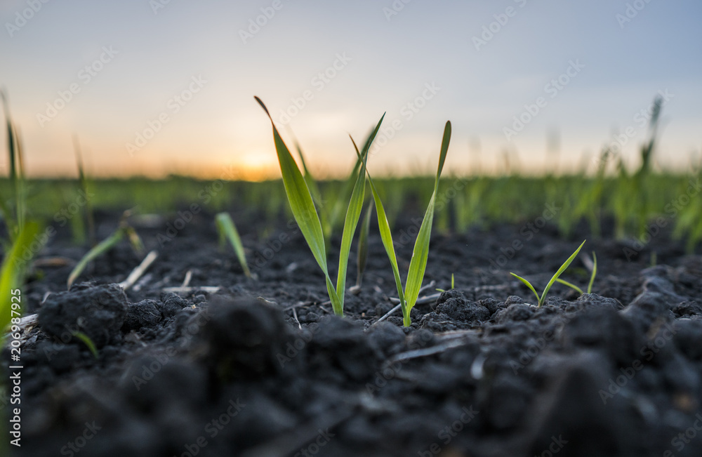 Fototapety, obrazy: Young wheat seedlings growing in a field. Green wheat growing in soil. Close up on sprouting rye agricultural on a field in sunset. Sprouts of rye.