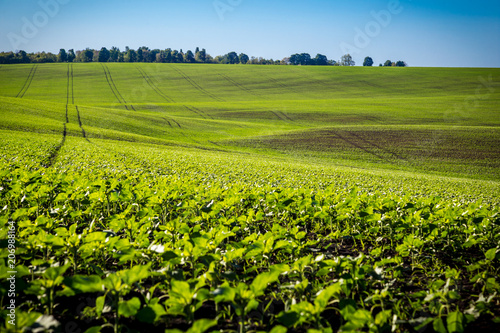 Foto op Plexiglas Platteland field with young green sunflower sprouts