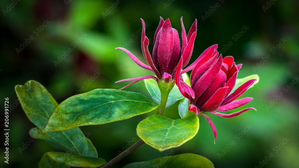 Fototapety, obrazy: a pair of carolina allspice blossoms