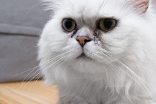 Standing Persian Chinchilla Cat Silver Shade With Gum In The Eye, Close-up