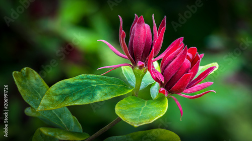 Fototapeta a pair of carolina allspice blossoms obraz