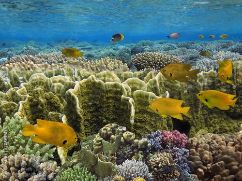 Staande foto Koraalriffen Sulfur damsel