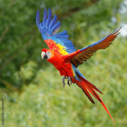 Naklejki papugi  ara-rouge