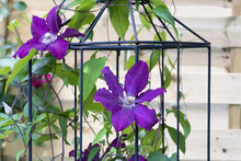 Blühende Kletterpflanze Clematis