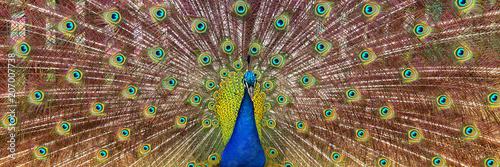 Fototapeta premium obraz piękny męski paw, otwierając ogon, na zewnątrz.