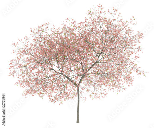 flowering peach tree isolated on white background