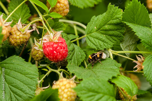 Raspberries on plant with a bee.