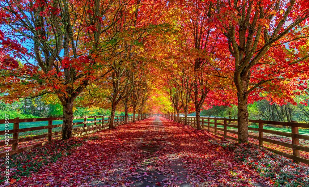 Fototapety, obrazy: Autumn trees lining driveway