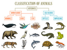 Classification Of Animals. Reptiles Amphibians Mammals Birds. Crocodile Fish Bear Tiger Whale Snake Frog. Education Diagram Of Biology. Engraved Hand Drawn Old Vintage Sketch. Chart Of Wild Creatures.