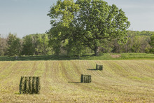 A Just Baled Field Of Alfalfa Hay With Three Big Square Bales Diagnolly In The Field And A Large Oak Tree In The Background.