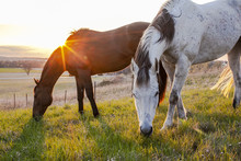 Two Horses Grazing At Sunset With The Sun Creating A Starburst Over The Neck Of A Bay Horse With A Gray Horse In The Foreground.