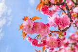 Kanzan or Japanese cherry blossom flowers