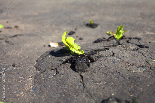 Bright green tufts of grass growing through dark pavement Poster