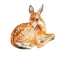 Fawn, Deer Sitting Izolated On A White Background. Watercolor. Illustration. Template. Hand Drawing. Close-up. Clip Art.