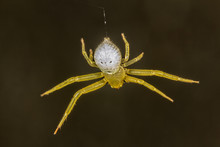 Spider Thomisus Hanging From The Web Extreme Close Up - Top View