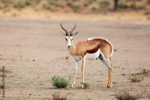 The springbok (Antidorcas marsupialis) adult male in the desert. Antelope on the sand with raised hairs on the back.