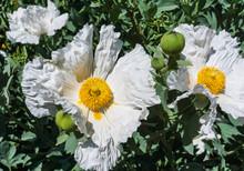 Extra Large  White Cloud Matilija Poppy In Bloom