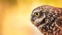 Burrowing Owl, Warm Colors, Fi...
