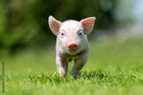 Newborn piglet on spring green grass