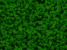 Natural Green Dark Background. Plant And Herb Texture. Leafs Green Young Fresh Clover, Shamrock, Trefoil. Beautiful Background With Green Clover Leaves For Saint Patrick's Day. Trifolium, Trifoliate