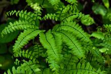 Maidenhair Fern Closeup