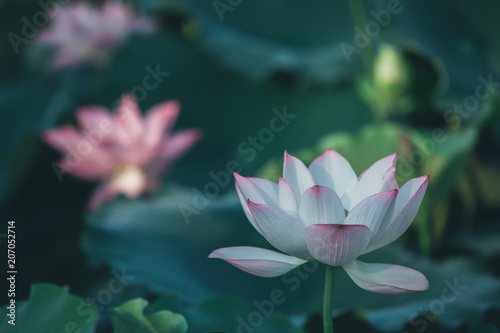 Foto op Canvas Lotusbloem twin lotus flowers on one stalk