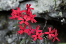Fire Pink Cluster In Bloom, Pi...