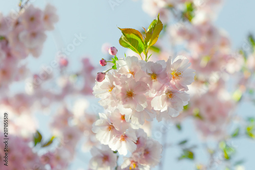 f70b1613140 Spring flowers. Spring Background with cherry blossom