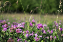 Flowering Clover In Clear Weather, Background. Many Pink Flowers In The Field.