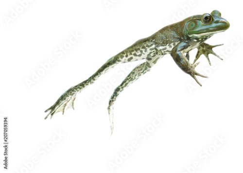 Poster Kikker stop action Leaping and jumping Frog on the go on white background