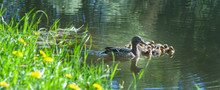 Duck With Small Ducklings In T...