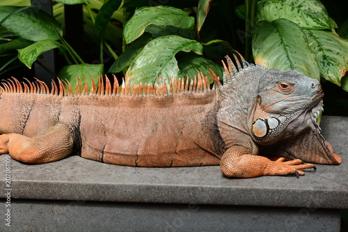 Male green iguana basks in the heat