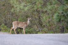 Deer In Montana