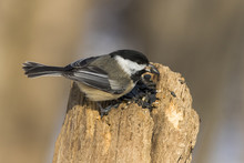 Black Capped Chickadee In Winter