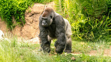Male Silver Back Gorilla, Walk...