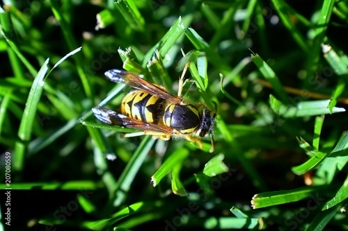 Fotografie, Obraz  Wasp or Hornet, insect of the order Hymenoptera and suborder Apocrita that is neither a bee nor an ant