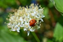 Ladybug (Coccinellidae) Huntin...