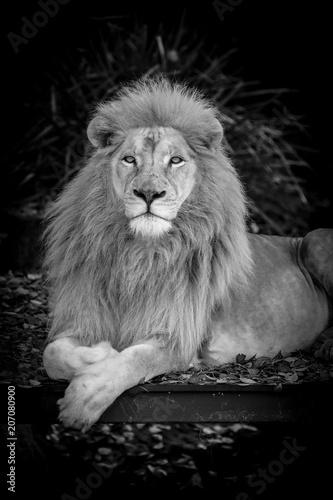 Photo  White Lion