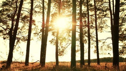Trees in a pine forest against a sunset background. The rays of the sun pass through the branches of trees.