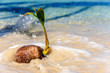 Sea waves are sprayed on a fallen coconut on the beach. Tropical fruits in sea waves.