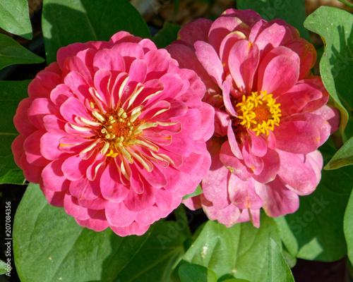 In de dag Dahlia pink zinnia flowers closeup in the garden