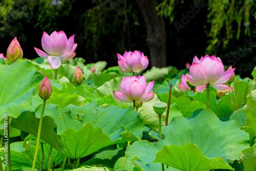 Lotus Flowerbackground Is The Lotus Leaf And Lotus Bud And Lotus