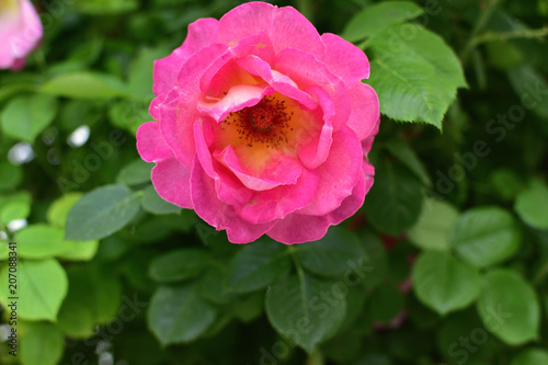 Closeup Of A Big Pink Roses On Bush Of Tea Roses Soft Focus Buy