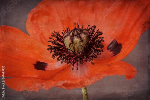 Deurstickers Klaprozen Poppy with texture, close-up, orange