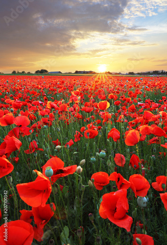 Spoed Foto op Canvas Rood traf. Landscape with nice sunset over poppy field
