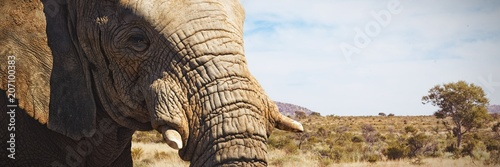 Fototapeta Composite image of close-up of elephant showing its tusk