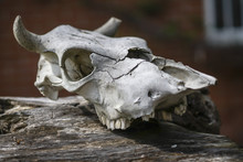The Old Skull Of The Animal Ha...
